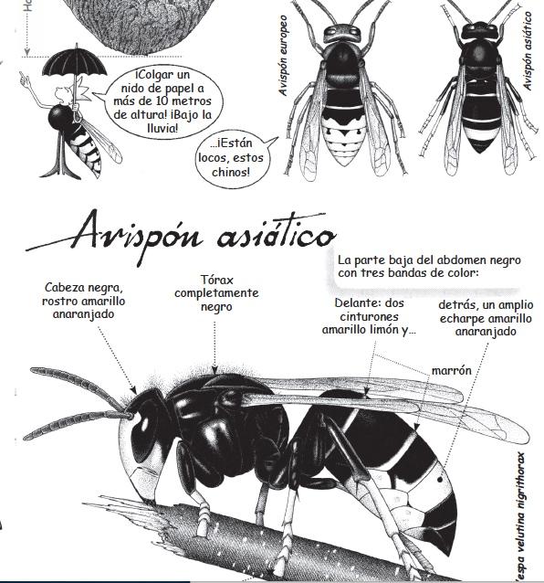 avisponasiatico5b